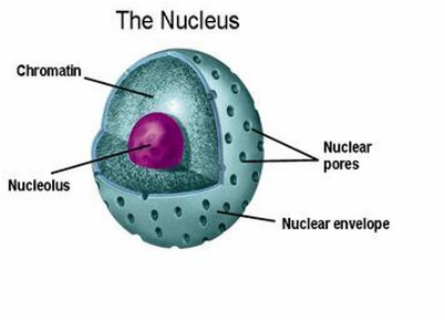 Nucleus its parts cell structure organelles picture ccuart Image collections